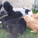 6 Stunning Cockapoo Puppies. For Sale