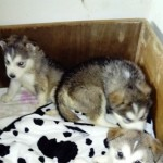 Japanese Akita.siberian Husky Puppies For Sale.