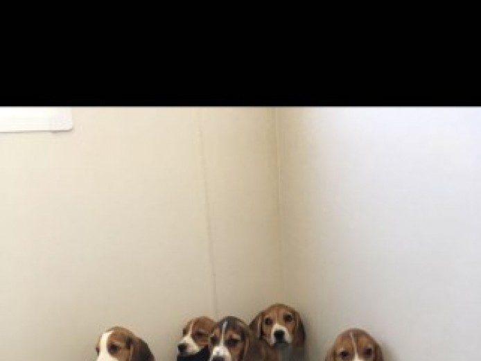 Stunning Pedigree Beagle Puppies