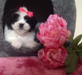 Small Extremely Cute Maltese X Shihtzu Puppies