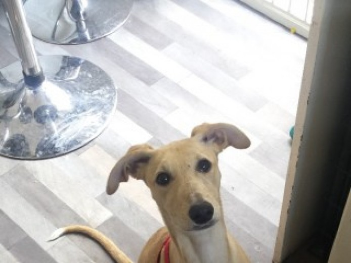 Female Whippet Puppy 5 Months