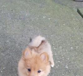 Beautiful Kc Pomeranian Boy