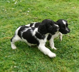Ess Puppies For Sale