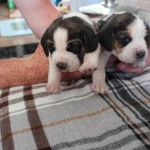 Beagle Pups For Sale In West Yorkshire