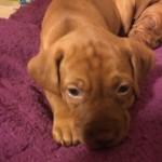 Gorgeous Pedigree Vizsla Pups