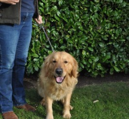 2 Boys Kc Reg Dark Golden Retriever  Ready To View