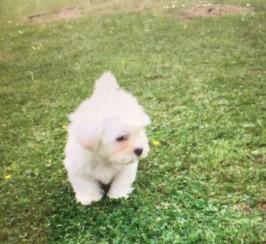 Bichon Frise Cross Cavalier Puppies