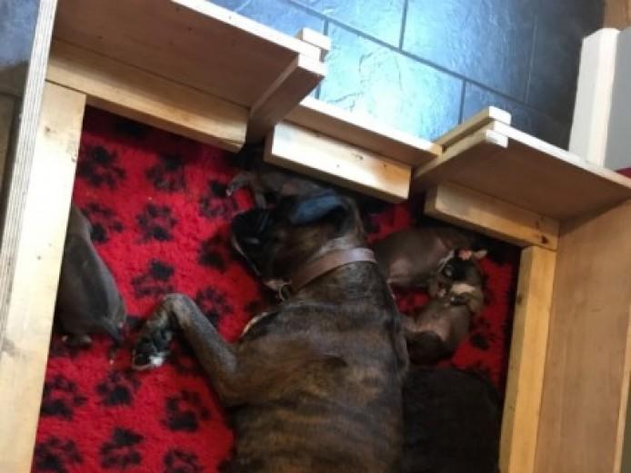 Beautiful Kc Reg Boxer Pups For Sale