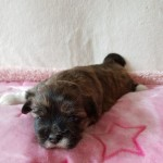 Beautiful Friendly Lhasa Puppies Available
