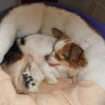 K C Registered Long Coat Chihuahua Puppies