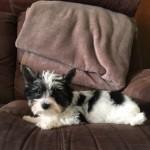 Biewer Terrier Puppies For Sale