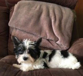 Biewer Terrier Puppies For Sale