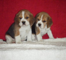 Quality Beagle Pups