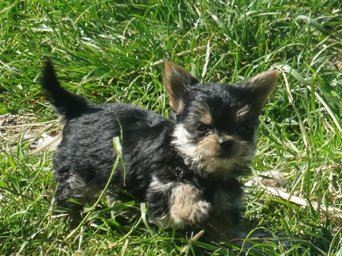 Yorkshire Terrier X Chihuahua Pups