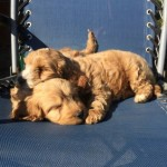 Stunning F1 Cockerpoo Puppies Fn And Pra Clear
