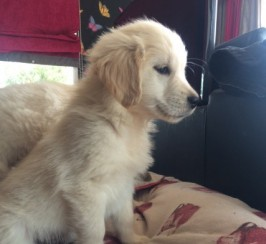 Golden Retriever Kc Reg