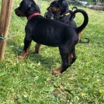 Kc Dobermann Puppies