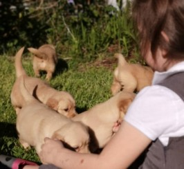 Beautiful Kc Registered Golden Retriever Puppies