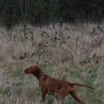 Smooth Haired Hungarian Vizla