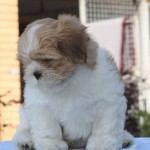 Stunning Male Lhasa Apso Puppies