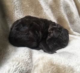 Very Rare Silver.chocolate Labradoodle Puppies