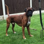 Kc Registered Boxer Puppies Viewing Available