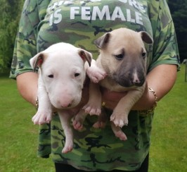 English Bullterrier Pups For Sale