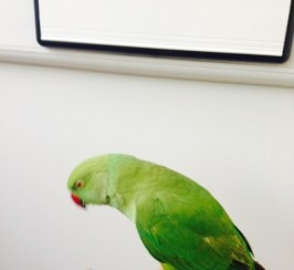 fully tame and talking indian ring neck parrot