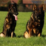 Top Czech/Ddr German shepherd puppies