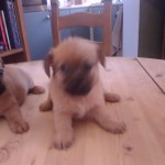 Pug border terrier x Yorkshire terrier