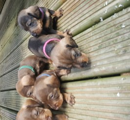 Teckel  ( standard wire haired dachshund) puppies