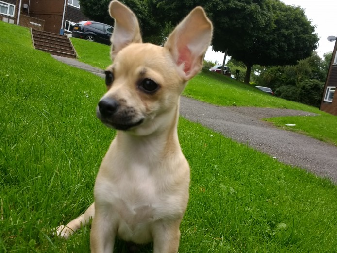 Pedigree Chihuahua puppies for sale