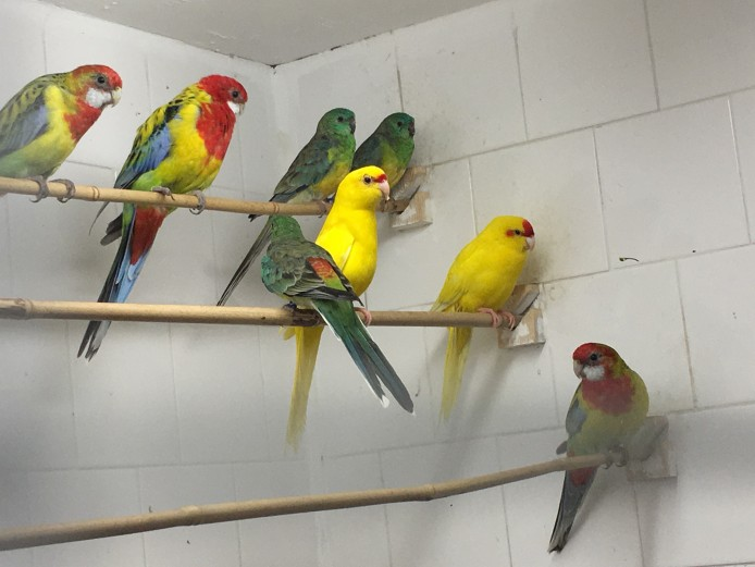 KAKARIKI, ROSELLAS, BOURKE FOR SALE