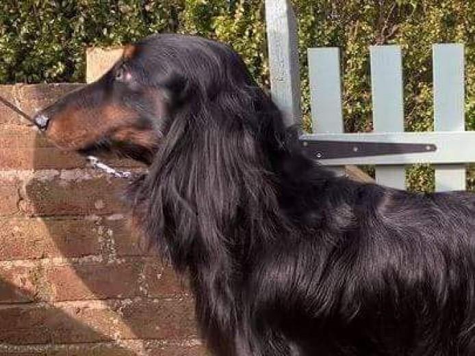 Standard Long haired Dachshund Pups from KC Assured Breeder