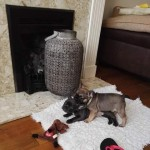 French bulldog puppy ready now