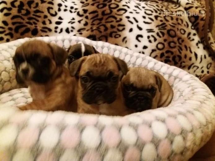 Beautiful French bulldog puppies KC