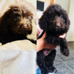 chocolate cockapoo puppies