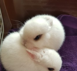 2 cute female Netherland dwarf bunnies for sale