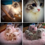 GCCF Registered Ragdoll Kittens