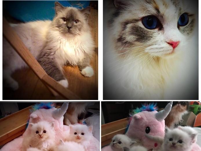 GCCF Registered Ragdoll Kittens