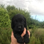 Beautiful KC Registered Pedigree Working Cocker Spaniel Puppies