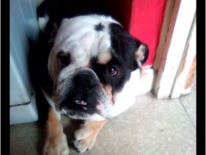 Tri coloured male British bulldog