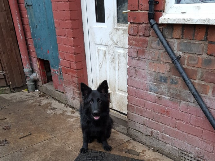 Black Long hair German Shepherd - female 7 months