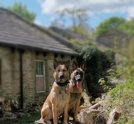 Pets  - Belgian Malinois Puppies Lancashire