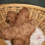 Gorgeous Toy Poodle Puppies