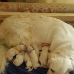 Golden Retriever Puppies Kc Register