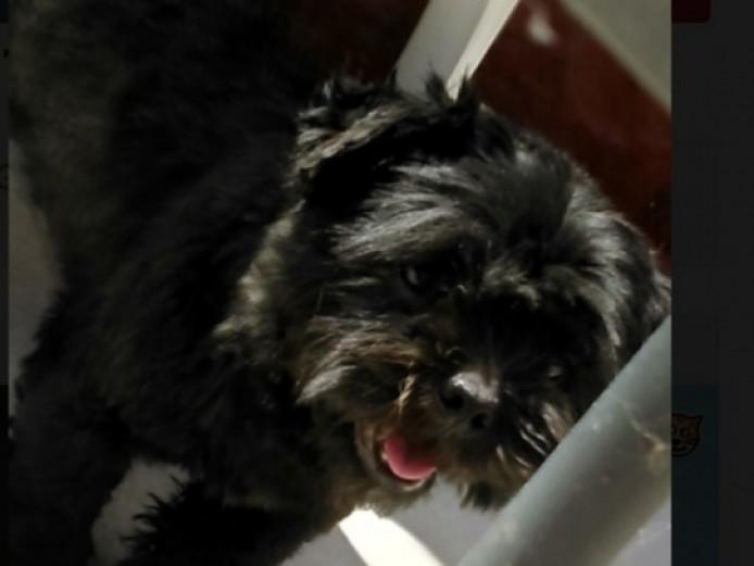 Black Lhaso Apso Pup