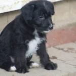 Miniature Jackapoo Puppies