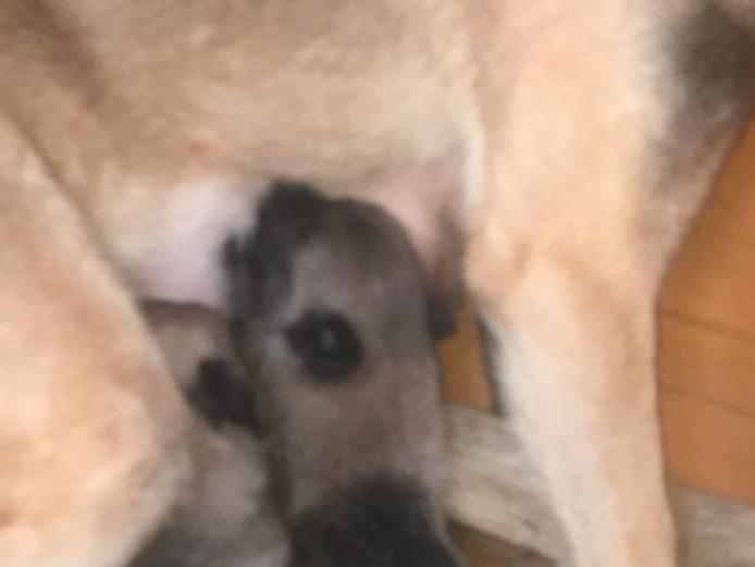 German Shepherd X Mali Pups