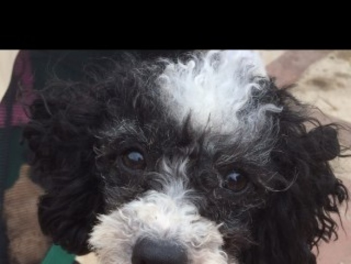 Toy Poodle Puppies Kc Registered ( Only Boys Left